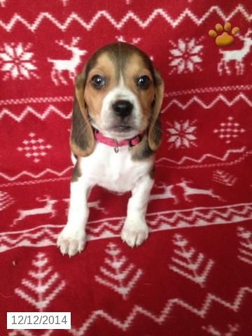 Pipper - Beagle Puppy for Sale in Coatesville, PA