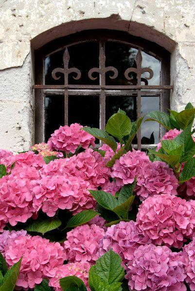 Pink hydrangeas under a beautiful wrought-iron window