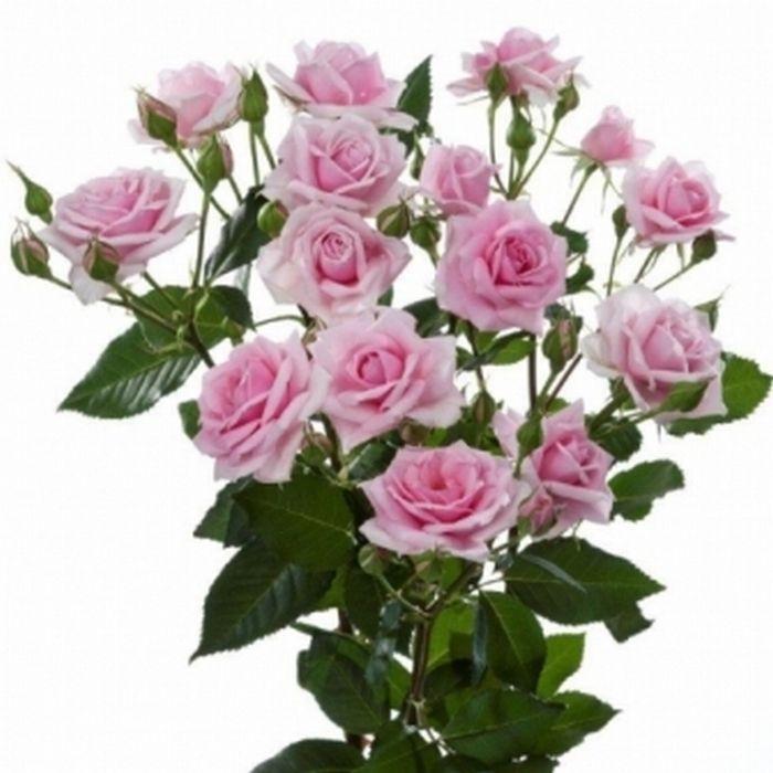 trosrozen bloemen - Google zoeken