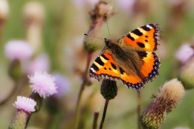 Tiere, Schmetterling, Kleiner Fuchs, Insekten