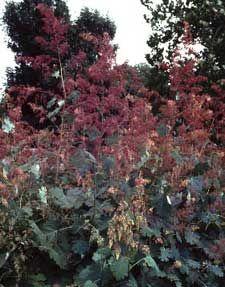 Plume Poppy - Macleaya cordataPlume Poppy