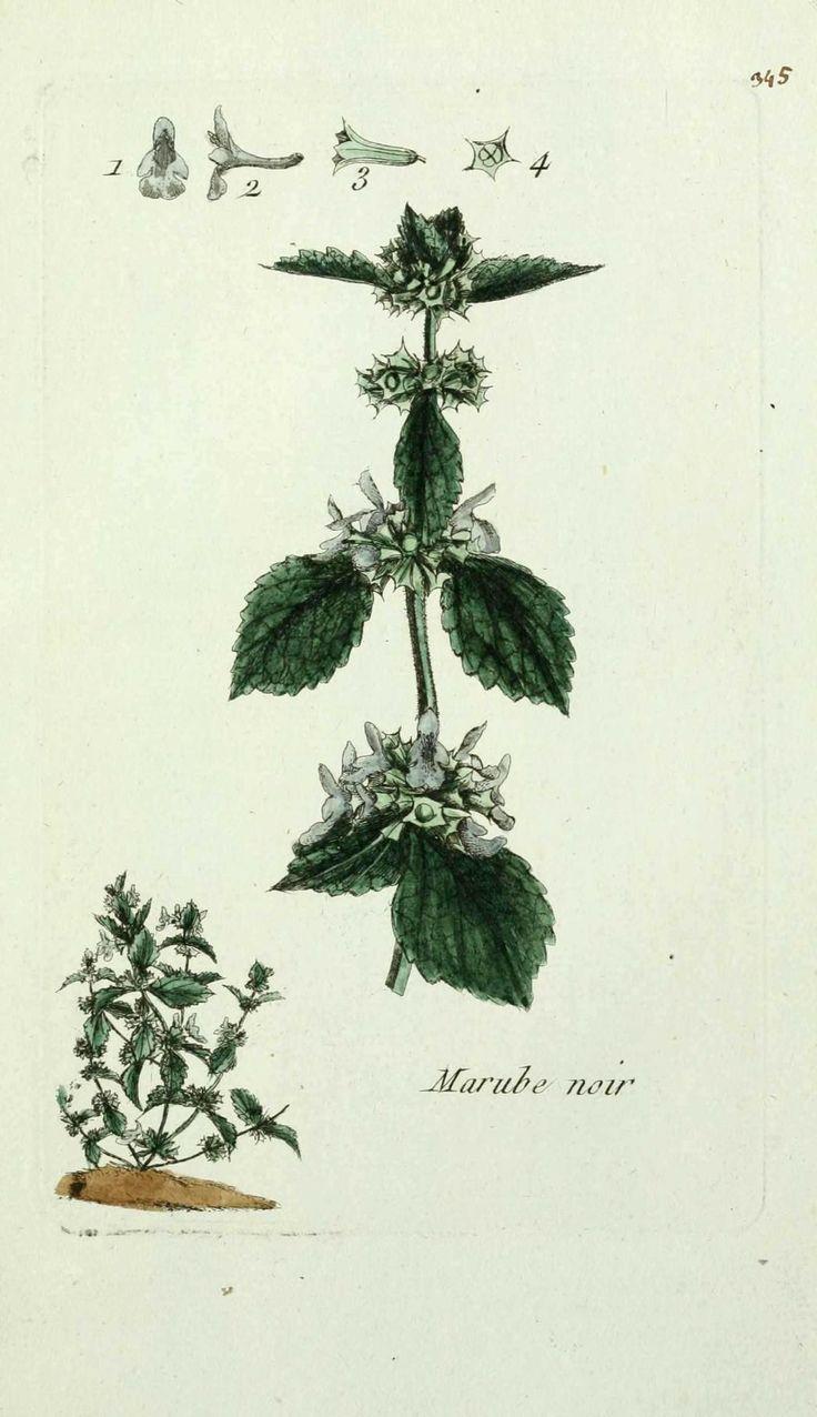 flore de paris : marrube noir - ballota nigra ( marrube puant ou fetide, ballote noire ) Geheugenverlies