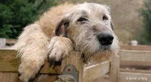 ierse wolfshond - Google zoeken - Irish Wolfhound be still my heart
