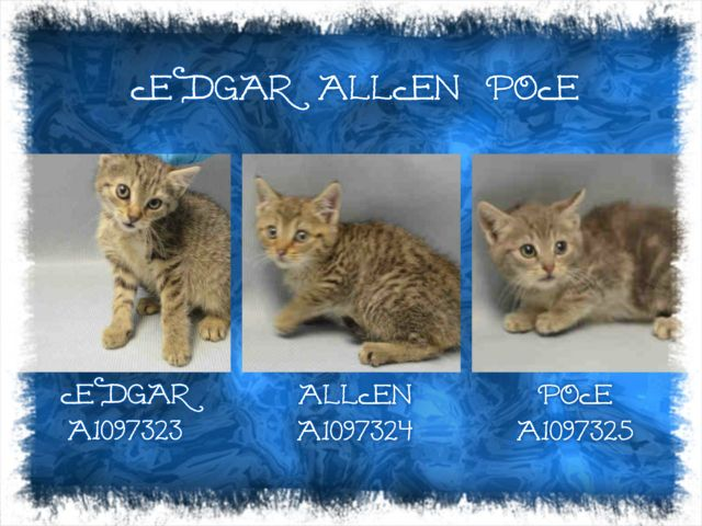 EDGAR ALLEN POE - A1097323, A1097324 A1097325 - - Brooklyn  Please Share:***TO BE DESTROYED 11/23/16*** THREE CUTE HEALTHY KITTENS NEED FOSTER!  -  Click for info & Current Status: http://nyccats.urgentpodr.org/edgar-allen-poe-a1097323-a1097324-a1097325/