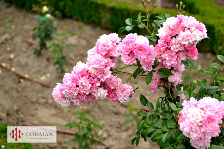 Parcul Rozelor din Timisoara - Trandafir