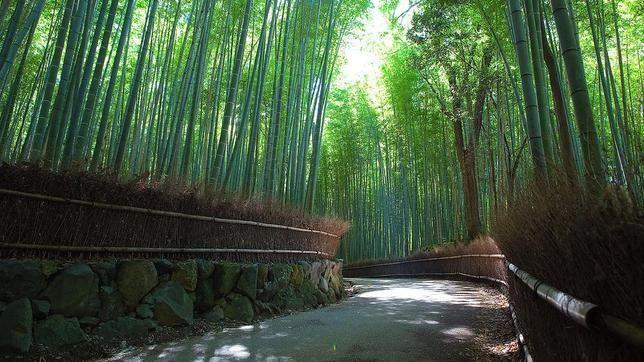 En Arashiyama, muy cerca de Kioto (Japón), encontramos este tramo de bosque bambú, considerado un sitio histórico que hay que preservar. Cerca hay templos y santuarios. Quienes lo han visitado dicen que es uno de los paisajes más bellos y a la vez misteriosos de Japón, y no solo por los árboles sino por el sonido del viento al zarandear el bambú. Los bambúes pueden ser plantas pequeñas de menos de un metro de largo, aunque también los hay gigantes, de unos 25 metros de alto.