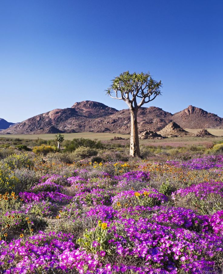 Quiver trees and wildflowers in Goegap Nature Reserve, Namaqualand.