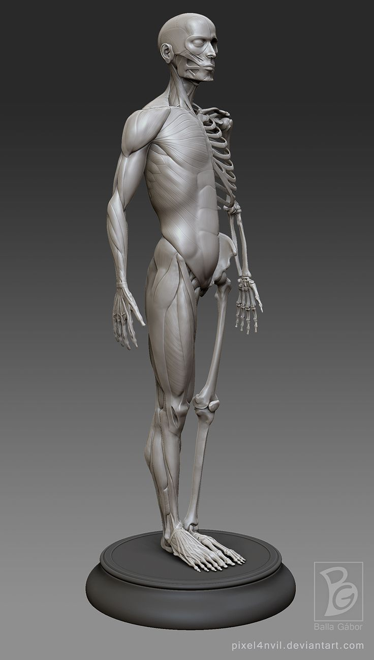 male anatomy model by Pixel4nvil