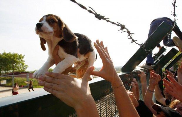 Blitz a Green Hill. Un cucciolo di Beagle viene salvato e ritrova la libertà.