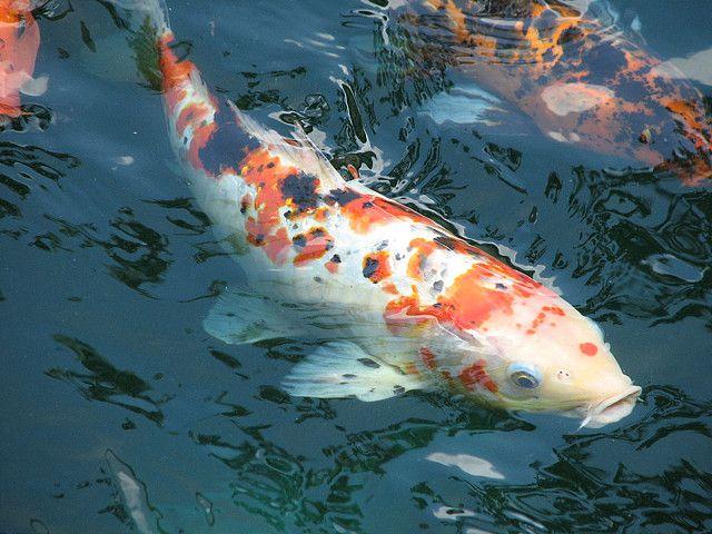 1193 best fish images on pinterest aquarium fish fish for Koi aquarium