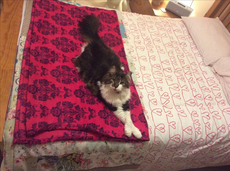 Great big hairy monster. This is a double bed and he's nearly the width of it long. 5 years old in March!