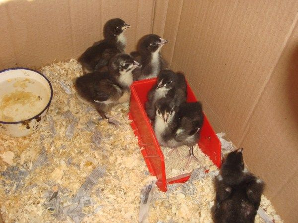 1 week old australorp chickens