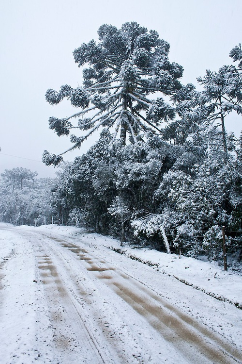 Araucarias covered by snow. Urubici, Santa Catarina, Brazil.