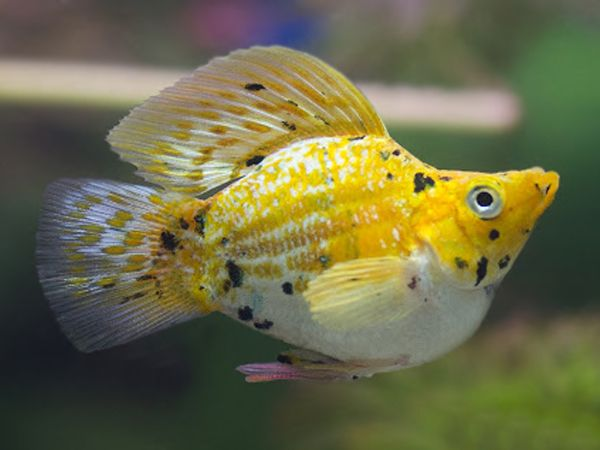 Gold Calico Balloon Molly Place Your Order At Https Fishplace Eu Product Gold Calico Balloon Molly Price Starts From 1 0 In 2020 Marble Balloons Balloons Pet Breeds