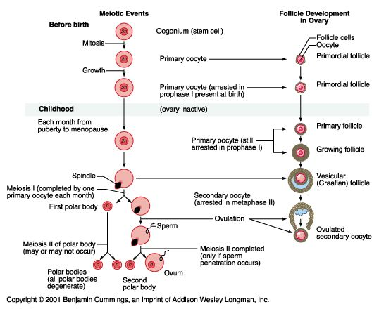 Oogenesis - Meiosis Vs Folliculogenesis  Female Reproductive System Anatomy, Ovarian -1218