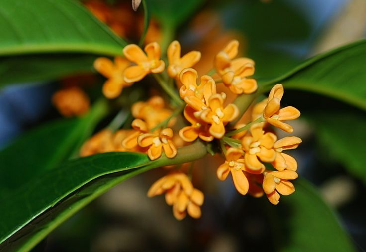 "Orange Osmanthus - This flower was introduced from China to Japan in the Edo period.  In floral language it has the meaning of ""Truth"" and ""Noble person""."
