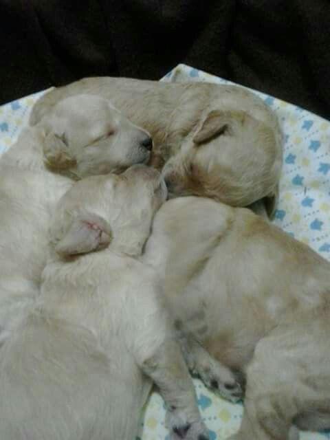 Cuccioli di barboncino della mia Luna #baby poodles Luna 's#my four love 💕