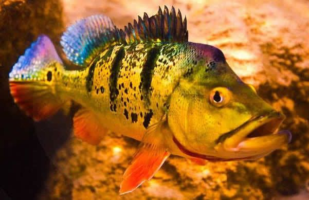 6 pack 2 3 inch peacock bass cichla ocellaris live fish for Bass fish tank