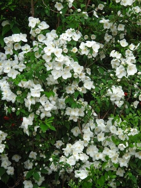 """Mock orange is a versatile old garden shrubs that you can place almost anywhere; it will even flower in deep shade, but it likes full sun. Showy 2"""" white cupped orange blossom scented flowers, bloom in May/June.The versatility and fragrance must certainly be the reasons gardeners choose mock orange, it certainly isn't for its fountain-like irregular shape. This deciduous shrub grows quickly to 10' in both height and width. Drought tolerant once established."""