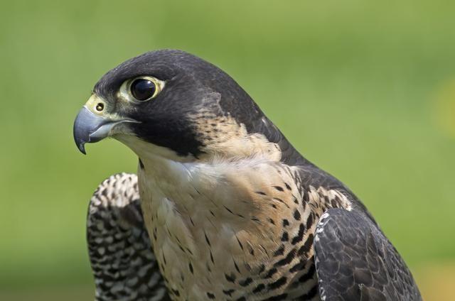 5 Datos Muy Interesantes Sobre El Halcón Peregrino El Ave Más Rápido Del Mundo Halcon Peregrino Peregrino Aves
