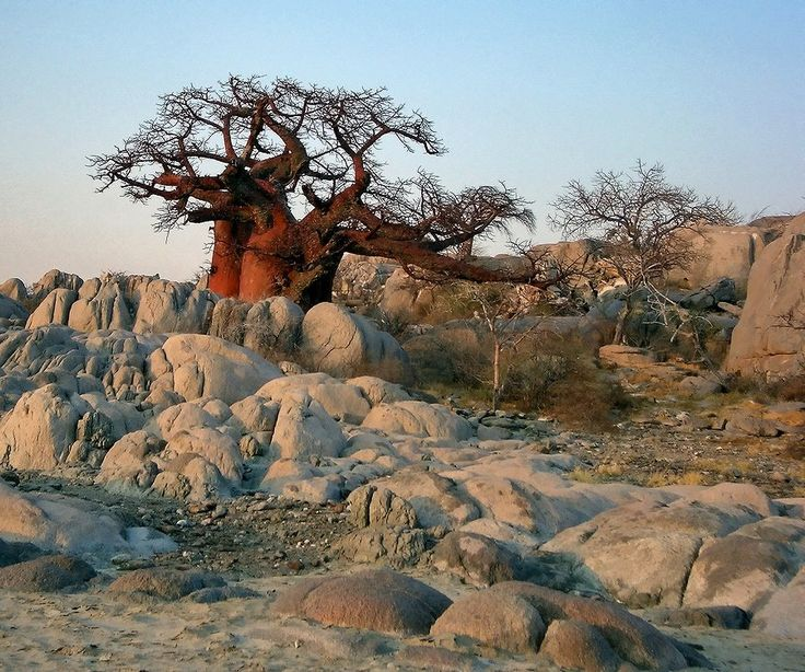 Red Baobab, the Kalahari. Looks so much like the big tree in Selebi Phikwe Botswana