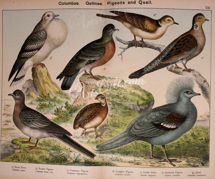 Stock Dove, Pouter Pigeon, Passenger Pigeon, Laugher Pigeon, Turtle Dove, Crowned Pigeon, Quail      ...