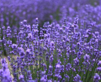 Echter Lavendel – Lavandula officinalis  Andere Namen : Speik, Lavander, Nervenkraut In früheren Zeiten legte man Lavendel unruhigen Babys mit in die Wiege. In der Antike war der Lavendel schon sehr beliebt und wurde in Toilettenartikeln verwendet. Der echte Lavendel kam aber erst im Mittelalter zur Berühmtheit und wurde gegen Motten und als Augenmittel verwendet.     Volksheilkunde : Ohnmacht, […]