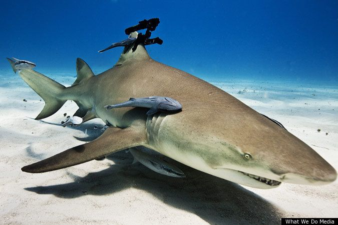 Sharks with lasers attached to their fins.