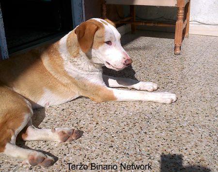 MISTERBIANCO (CATANIA): SMARRITA NOA, CANE METICCIO BEIGE E BIANCO http://www.terzobinarionetwork.com/2015/11/misterbianco-catania-smarrita-noa-cane.html