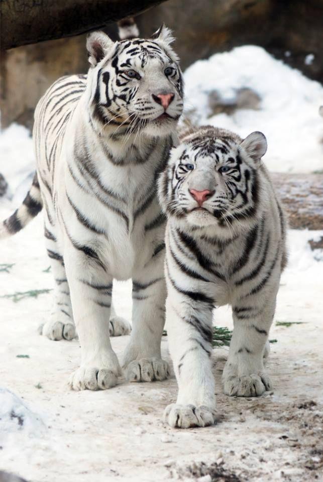 Wildes Tigerjunges