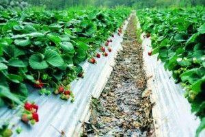 Уход за клубникой - повышаем урожайность