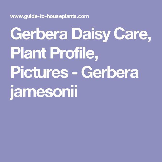 Gerbera Daisy Care, Plant Profile, Pictures - Gerbera jamesonii