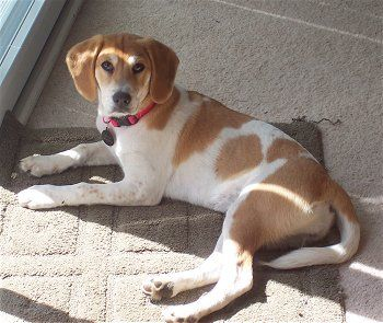 25+ best ideas about Beagle lab mixes on Pinterest ... Beagle Boxer Mix Full Grown