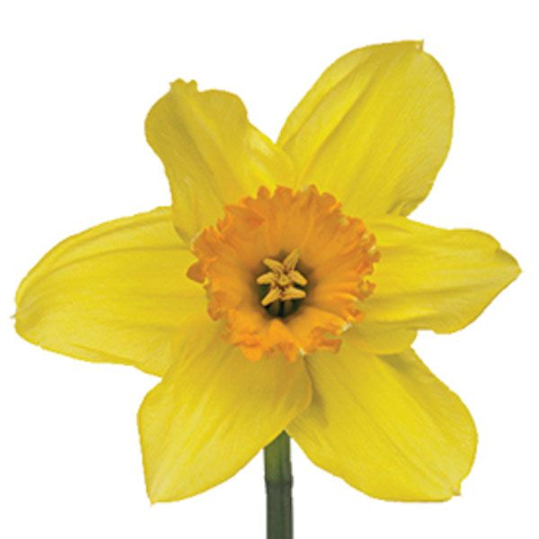 "Daffodils are cheerful flowers that symbolize ""rebirth"" and are a  popular option during Easter. They're a versatile bloom that work well in formal arrangements or old-fashioned garden-style bouquets!"