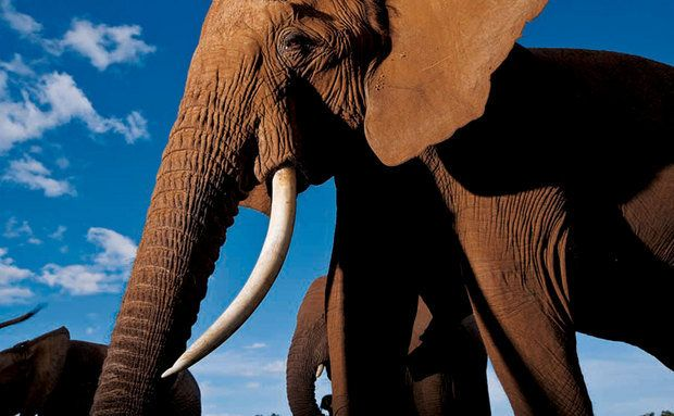 Elefante fêmea no ecossistema Samburu-Laikipia - Mestres da fotografia - Michael Nichols 67
