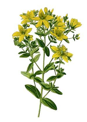 St. John's Wort, Hypericum perforatum botanical illustration