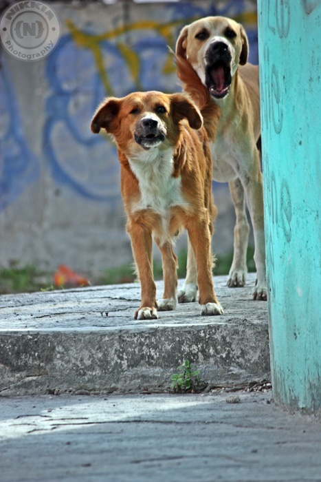 Couple of dogs wondering around the streets in Bonfil/Cancun Mexico