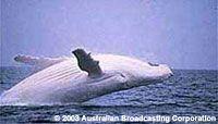Migaloo the Australian white whale