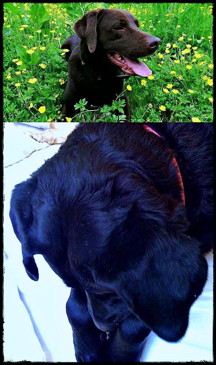 Labrador Elbow Dysplasia Checking Out Labradorrescuechorley Labradorpuppy Labradorpuppiesyarrawonga Labrador Dog Retriever Dog Labrador Retriever