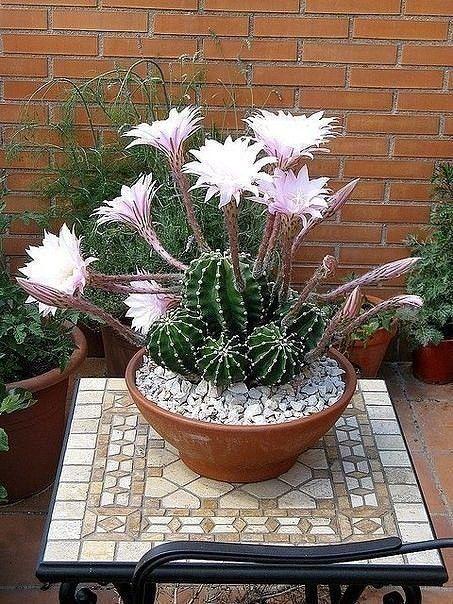 цветут кактусы!