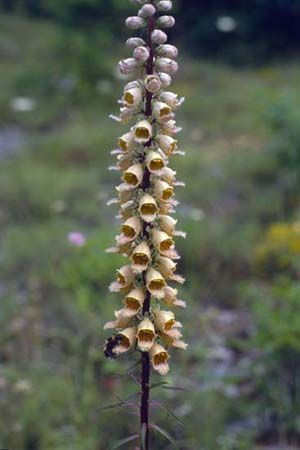 Digitalis ferruginea 'Gigantea'