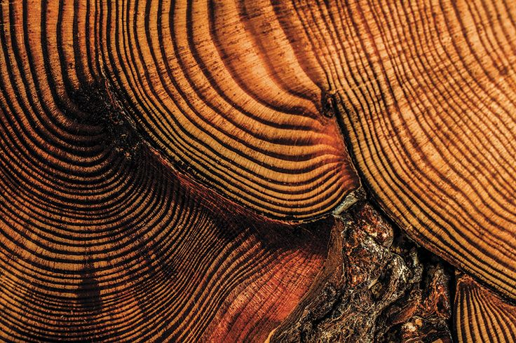 Circa 1686–1813 red pine section from Wisconsin. http://mizzoumag.missouri.edu/2013/05/if-trees-could-talk/