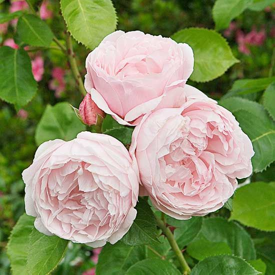 Heritage Another outstanding English rose, Heritage bears petal-filled soft-pink blooms that smell of sweet lemons. Many gardeners appreciate that it has fewer (at least than most roses) thorns on its canes and good disease resistance. Size: To 5 feet tall and 4 feet wide Zones: 5-9