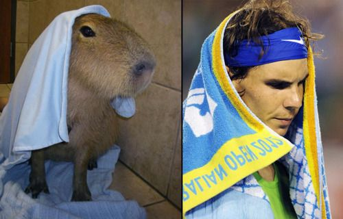 towel capybara