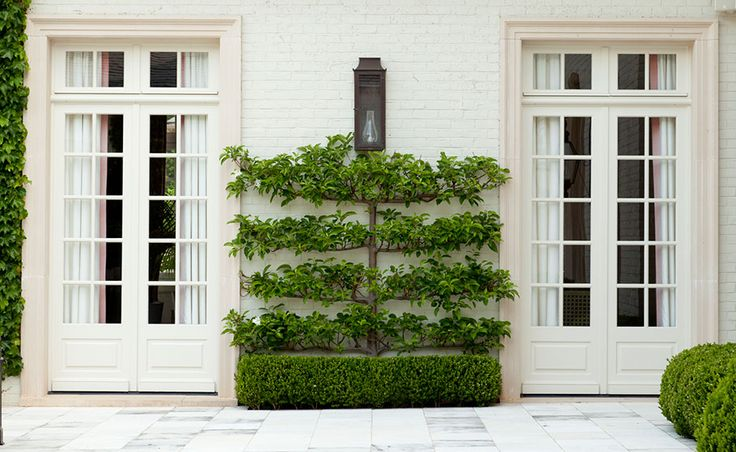 espalier tree and boxwood.