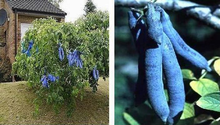 Image result for dead man's finger tree