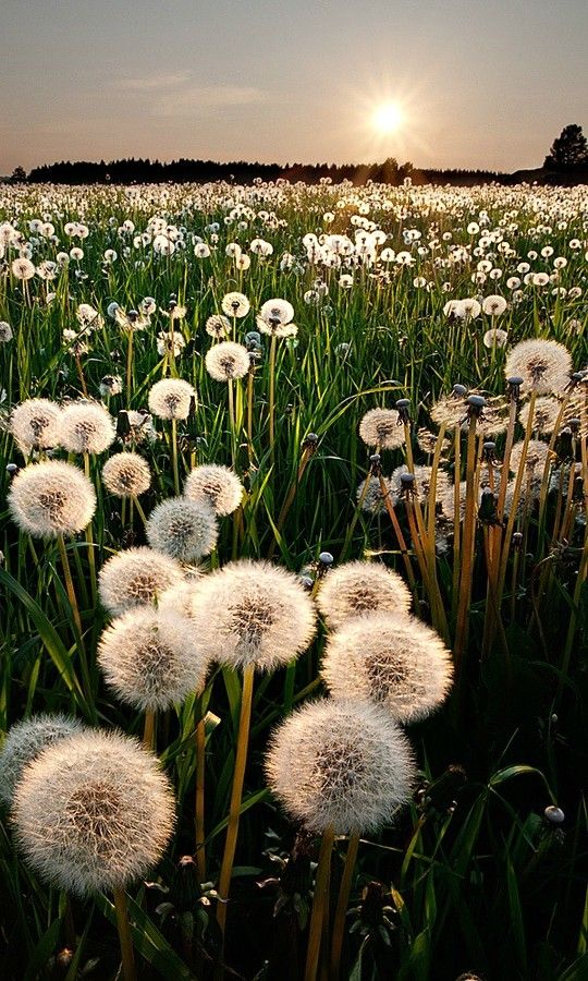 field of dandelion-seed dreams and wishes....