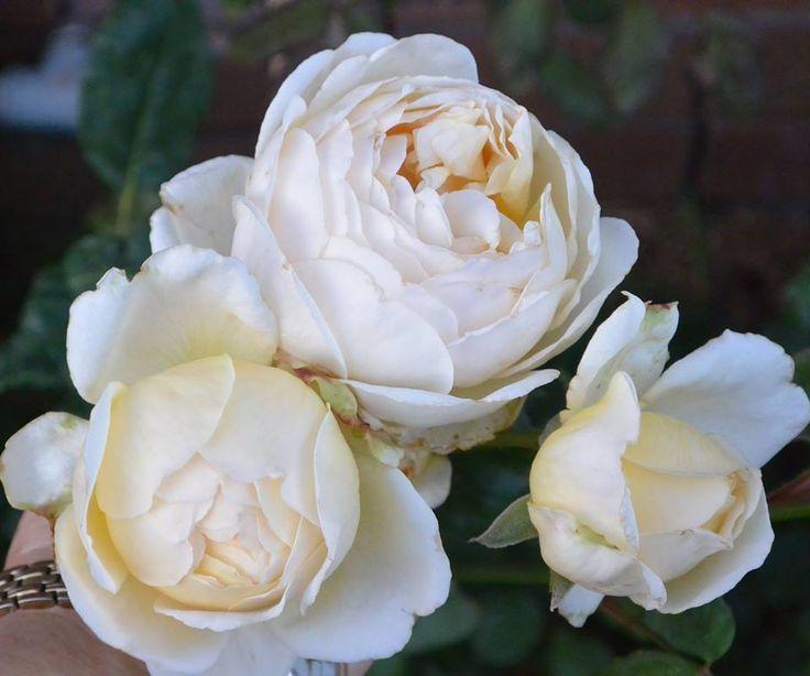White Garden Rose 61 best roses images on pinterest | garden roses, flowers and