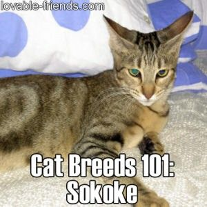 Cat Breeds 101 - Sokoke   ►►   http://www.lovable-friends.com/category/cats/?i=p