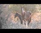 Türkiyede Yabani Atlar.. izmirdeki Yılkı atları